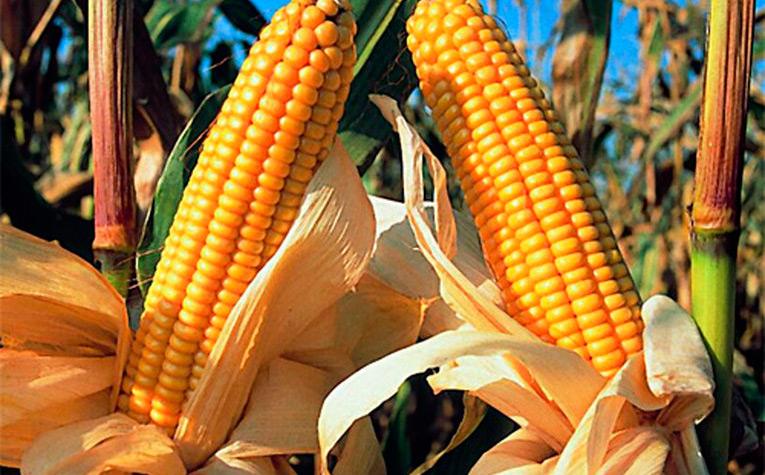 cultivos-transgenicos